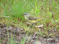 Acanthiza chrysorrhoa leighi 4 (nbgact) Tags: mulligans flat nature reserve forde canberra act ausbird ausbirds barry m ralley barrymralley