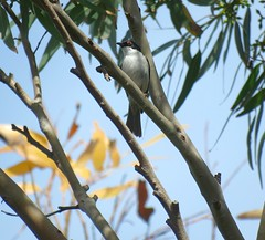 Melithreptus lunatus 3 (nbgact) Tags: mulligans flat nature reserve forde canberra act ausbird ausbirds barry m ralley barrymralley