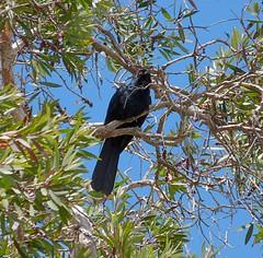 Eudynamys orientalis 1 (nbgact) Tags: mulligans flat nature reserve forde canberra act ausbird ausbirds barry m ralley barrymralley