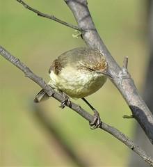 Acanthiza reguloides reguloides 7 (nbgact) Tags: mulligans flat nature reserve forde canberra act ausbird ausbirds barry m ralley barrymralley