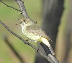 Acanthiza reguloides reguloides 6 (nbgact) Tags: mulligans flat nature reserve forde canberra act ausbird ausbirds barry m ralley barrymralley