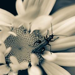 La nuit toutes les fleurs sont grises-7468 (letexierpatrick) Tags: fleurs fleur flower flowers floraison coeurdefleurs insecte proxiphotographie macro monochrome nikon nikond7000 nature noir black noirblanc noiretblanc blackandwhite bw white blanc botanique france europe extérieur explore