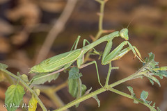 Bordered Mantis (Stagmomantis limbata) - Female (aliceinwl1) Tags: arthropod arthropoda borderedmantis ca california insect insecta mantid mantidae mantodea placercounty rocklin stagmomantis stagmomantislimbata limbata locnoone viseveryone