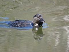 Biziura lobata 7 (nbgact) Tags: tidbinbilla nature reserve paddys river rd canberra act ausbird ausbirds barry m ralley barrymralley