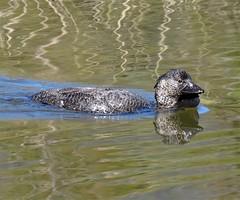 Biziura lobata 11 (nbgact) Tags: tidbinbilla nature reserve paddys river rd canberra act ausbird ausbirds barry m ralley barrymralley