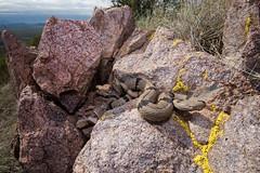 Banded Rock Rattlesnake (Crotalus lepidus klauberi) (Saundersdrukk) Tags: bandedrockrattlesnake crotaluslepidusklauberi snake banded rock rattlesnake crotalus lepidus klauberi newmexico animal venomous nature naturephotography