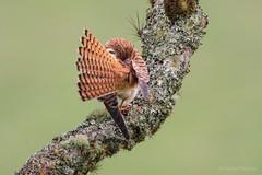 Falco sparverius (Wildlife and nature - Colombia) Tags: falcosparverius americankestrel cernicaloamericano kestrel cernicalo