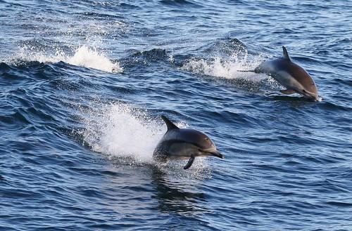Short-beaked Common Dolphin