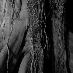 Notturno Botanico. Botanical Nocturnal B&W (Frammenti di Valencia/Fragments of Valencia)) (sandroraffini) Tags: organico botanico ficus macrophylla immagini ambigue ambiguos images notturno nocturnal bw urban exploration organic shapes forme parterre albero monumentale monumental tree surreal abstract reality chaotic old town valencia sandroraffini spagna spain hallucinations dark alien alieno vegetale