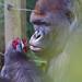Western lowland gorilla (Gorilla gorilla gorilla) - Paignton Zoo, Devon - Sept 2019