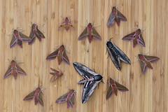 _W4A0841 Hawk-moths (ajmatthehiddenhouse) Tags: moth uk garden stmargaretsatcliffe kent 2018 sphingidae deilephilaelpenor deilephila elpenor elephanthawkmoth