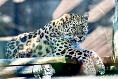 Amur Leopard (fionarosegunn) Tags: bigcat twycrosszoo twycross conservation endangered leopard amurleopard