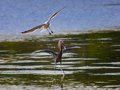 The gull is trying to steal his fish (QuakerVille) Tags: jonmarkdavey bird redbird reddish egret wetland marsh egrettarufescens dingdarling various redishegret rarebird