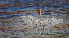 Shadow dancing with the Reddish Egret (QuakerVille) Tags: jonmarkdavey bird redbird reddish egret wetland marsh egrettarufescens dingdarling various redishegret rarebird sanibel florida unitedstates