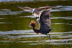 Playtime with a Reddish Egret and sea gull (QuakerVille) Tags: jonmarkdavey bird redbird reddish egret wetland marsh egrettarufescens dingdarling various redishegret rarebird