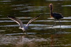 Reddish Egret encounter with a gull (QuakerVille) Tags: jonmarkdavey bird redbird reddish egret wetland marsh egrettarufescens dingdarling various redishegret rarebird