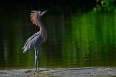 Reddish Egret displaying (QuakerVille) Tags: jonmarkdavey bird redbird reddish egret wetland marsh egrettarufescens dingdarling various redishegret rarebird sanibel florida unitedstates