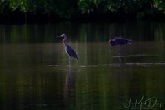 Reddish Egret two of them actually (QuakerVille) Tags: jonmarkdavey bird redbird reddish egret wetland marsh egrettarufescens dingdarling various redishegret rarebird sanibel florida unitedstates