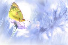 Inspiration ... (jeremie.brion) Tags: papillon nature macro proxy butterfly
