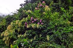 Wild flowers !! (Lopamudra !) Tags: lopamudra lopamudrabarman lopa nepal himalaya himalayas trek trekking flora flower flowers beauty beautiful nature forest jungle wilderness wild annapurnabasecamp annapurna annapurnasouth foliage green