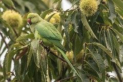 Ring necked parakeet on a (very tropical!) sweet chestnut tree (ejwwest) Tags: