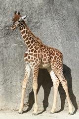 Odja, girafon de Kordofan (olivier.ghettem) Tags: zoodeparis zoodevincennes zoo parczoologiquedeparis paris girafedekordofan girafon animal mammifère afrique africa