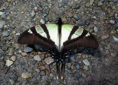 Eurytides serville (Over 6 million views!) Tags: butterfly colombia papilionidae eurytidesserville insect butterflies