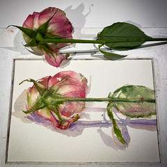 Day 1522. The #rose #painting for today. #watercolour #watercolourakolamble #sketching #stilllife #flower #art #fabrianoartistico #hotpress #paper #dailyproject (akolamble) Tags: rose painting watercolour watercolourakolamble sketching stilllife flower art fabrianoartistico hotpress paper dailyproject