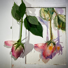 Day 1521. The #rose #painting for today. #watercolour #watercolourakolamble #sketching #stilllife #flower #art #fabrianoartistico #hotpress #paper #dailyproject (akolamble) Tags: rose watercolour painting watercolourakolamble sketching stilllife flower art fabrianoartistico hotpress paper dailyproject
