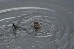 IMG_3012 (LezFoto) Tags: canoneos700d sigma 700d canon 120400mmf4556dgapooshsm digitalslr dslr canonphotography sigmalens aberdeen scotland unitedkingdom otter lutralutra riverdon mammal nature wildlife aquatic semiaquatic marine wild free