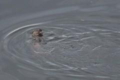 IMG_3007 (LezFoto) Tags: canoneos700d sigma 700d canon 120400mmf4556dgapooshsm digitalslr dslr canonphotography sigmalens aberdeen scotland unitedkingdom otter lutralutra riverdon mammal nature wildlife aquatic semiaquatic marine wild free
