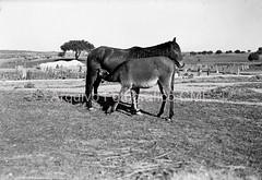 A mãe e o cavalo bebé (Arquivo Fotográfico | Câmara Municipal de Évor) Tags: antóniopassaporte glassnegative negativodevidro