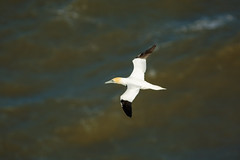 JUST ME (skysthelimit333) Tags: gannet waterfowl sea yorkshire bemptoncliffs