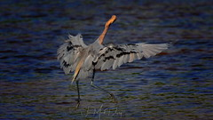 Beautiful spread wings of Reddish Egret (QuakerVille) Tags: jonmarkdavey bird redbird reddish egret wetland marsh egrettarufescens dingdarling various redishegret rarebird sanibel florida unitedstates
