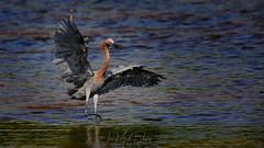 Reddish Egrets are extremely animated (QuakerVille) Tags: jonmarkdavey bird redbird reddish egret wetland marsh egrettarufescens dingdarling various redishegret rarebird sanibel florida unitedstates