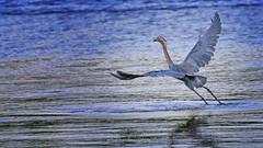 Fishing wiith a Reddish Egret (QuakerVille) Tags: jonmarkdavey bird redbird reddish egret wetland marsh egrettarufescens dingdarling various redishegret rarebird sanibel florida unitedstates