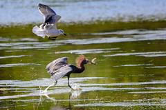 Gull targeting a fish loving Reddish Egret (QuakerVille) Tags: jonmarkdavey bird redbird reddish egret wetland marsh egrettarufescens dingdarling various