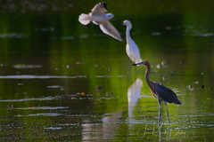 Reddish Egret with a snowy egret (QuakerVille) Tags: jonmarkdavey bird redbird reddish egret wetland marsh egrettarufescens dingdarling various redishegret rarebird sanibel florida unitedstates