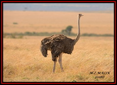 MASAI OSTRICH (Struthio camelus massaicus)......MASAI MARA......SEPT 2018 (M Z Malik) Tags: nikon d800e 400mmf28gedvr kenya africa safari wildlife masaimara keekoroklodge exoticafricanwildlife exoticafricanbirds ostrich
