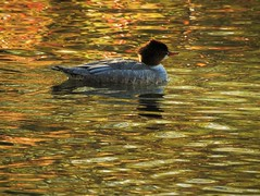 Merganser on Taylor Creek (Ruby 2417) Tags: merganer bird wildlife nature taylor creek water reflection fall autumn color colors reflecting ripples colorful gold marsh sierras sierra nevada