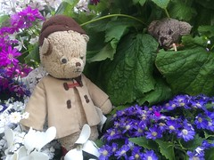 Paddington and Scout Play Hide-And-Seek in the Cineraria Boxes of the Fitzroy Gardens 1. (raaen99) Tags: paddington paddingtonbear paddybear paddy teddy teddybear bear softtoy vintage toy vintageteddy vintageteddybear vintagetoy handmade softie plush cute cuddly soft scout scoutbear knitting knitted knittedtoy fairtrade fairtradebear scouthouse conservatory fitzroygardensconservatory spanishmission spanishmissionarchitecture spanishmissionbuilding spanishmissiondesign concrete eastmelbourne melbourne victoria australia gardens fitzroygardens park public publicgardens statue dianaandthehounds cineraria cyclamen pink purple magenta red white petal flower flora springflower seasonal spring perennial gardenbed