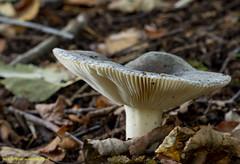 mushrooms photographed in the Pekelder Forest (Bert de Boer) Tags: mushrooms mushroom paddestoelen bertdeboer wwwbertopnl woods