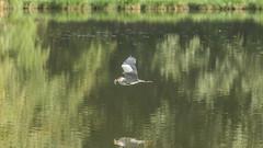 Le casse-croûte du matin. (Philippe Garrigue) Tags: oiseaux héron nature eau