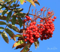 Berries (UCD Staff Photography Club) Tags: ucd universitycollegedublin ireland belfield berries holly trees autumn red green
