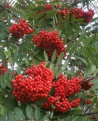 Sorbus aucuparia / Rowan berries in the woods (Ingrid Friis Photo) Tags: rowanberries woods