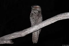 Podargus Strigoides (Tawny frogmouth) (Tom Frisby) Tags: bird birds animal animals fauna wildlife wild australia qld queensland