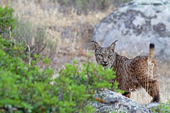 Carvajal, El Fantasma de Sierra Morena. (Juan Caballero.) Tags: lynx pardinus lince ibérico sierra morena 7d canon wildlife nature