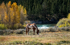 autumn's last HURRAH (laura's Point of View) Tags: autumn fall aspen aspens trees forest pines river grosventreriver horse equine animal pasture ranch farm graze seasons wyoming jacksonhole kelly grosventre west western unitedstates nationalforest nature beautiful landscape wilderness