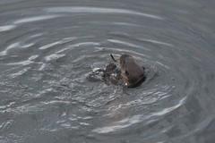 IMG_3018 (LezFoto) Tags: canoneos700d sigma 700d canon 120400mmf4556dgapooshsm digitalslr dslr canonphotography sigmalens aberdeen scotland unitedkingdom otter lutralutra riverdon mammal nature wildlife aquatic semiaquatic marine wild free