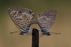Leptotes pirithous mating (5) (JoseDelgar) Tags: insecto mariposa leptotespirithous 422964098539515 josedelgar naturethroughthelens coth coth5 ngc alittlebeauty npc